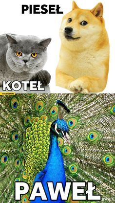 Pieseł koteł Paweł Animals And Pets, Funny Animals, Cute Animals, Wtf Funny, Funny Cute, Stupid Memes, Funny Memes, Polish Memes, Dark Memes