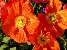 orange poppies.