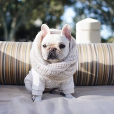 This French Bulldog is 'Winter Chic!', in a #pipolli scarf and shirt #piggyandpolly