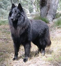 Belgian Breed