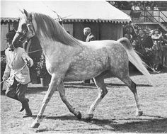*SILVER VANITY (Oran x Silver Gilt, by Indian Gold)