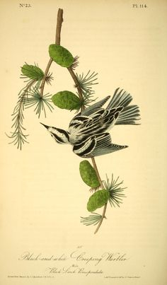 v 2 - The birds of America by John J Audubon : - Biodiversity Heritage Library  -  Black & White Creeping  Warbler and Pine
