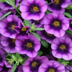 Doesn't this plant just make you think of grape soda? Superbells® Grape Punch Calibrachoa is a wonderful variety for baskets, containers, windowboxes and more. They love to be planted in full sun and prefer the soil to dry out between watering. My Flower, Purple Flowers, Flower Power, Beautiful Flowers, Purple Hues, Colorful Flowers, Duranta, Purple Garden, Growing Grapes