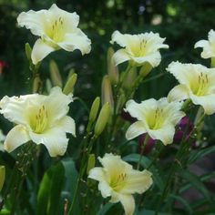 MISS AMELIA - Oakes Daylilies 3 1/2″ bloom, 30″ tall, Early Season + rebloom, Semi-Evergreen  One of our best rebloomers! Blooms over 100 days a season in our area. Blooms are a very pale yellow which looks near white from a distance. A prolific bloomer – makes a great display in the landscape. Fragrant.