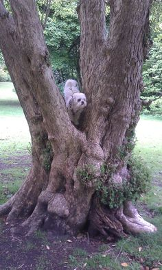 Lhasa Apso I climb trees.. so what!!! :D