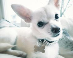Molly, chihuahua, 9 months. The Buttons. http://the-buttons.tumblr.com