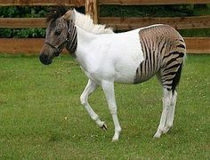 Eclyse, The Zorse - Her father is a zebra, while her mother is a horse.