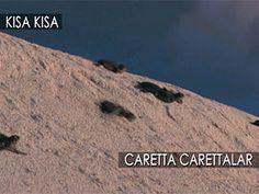 Caretta Carettalar Deniz kaplumbağaları Video