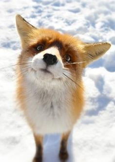 Fox Snow Wallpaper for iPhone - Baby Animals Adorable Best of 2019 Animals And Pets, Baby Animals, Funny Animals, Cute Animals, Animals Planet, Strange Animals, Wild Animals, Cute Creatures, Beautiful Creatures