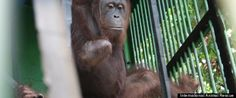 The story of Pelangsi the amputee orangutan is featured in the Huffington Post!