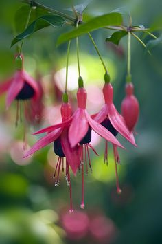 Fuchsia magellanica 'Riccartonii' ~ by Jacky Parker Floral Art on flickr