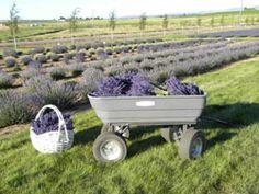 Cascade Lavender Farm ~ Central Oregon ~ Lavender plants, products, U-Pick & oils