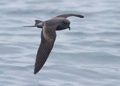 """3961. Ashy Storm-Petrel (Oceanodroma homochroa) 