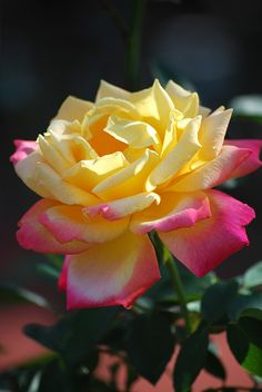 Rose | Flickr - Photo Sharing!