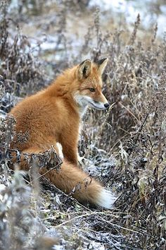 Red Fox by Bonnie Piscoya - National Geographic Your Shot