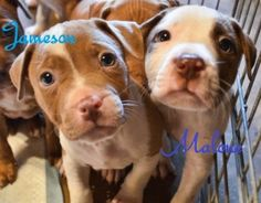 These adorable puppies (8 boys and 2 girls), will be up for adoption in May once they are spayed/neutered. Mom looks like a Vizsl...