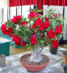 Diário de uma Sementeira: Como cuidar de uma rosa-do-deserto (Adenium obesum)
