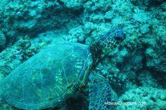 Snorkel with Green Sea Turtles #Hawaii #Snorkel #GreenSeaTurtles