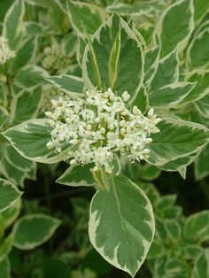 Creme de Mint variegated shrub dogwood - You think of it for the foliage and colorful stems but the flowers are sweet!