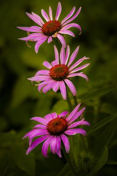 """outdoormagic: """" Three Purple Cone Flowers by Gerry Legere """""""