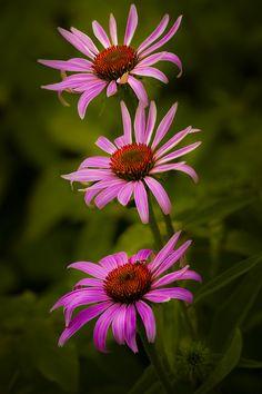 outdoormagic: Trois Violet Cône Fleurs par Gerry Legere