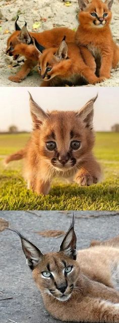 This Strange Wild Cat Is Called A Caracal … And It Might Just Be The Cutest Animal In The World #caracal #wild #cat #cats