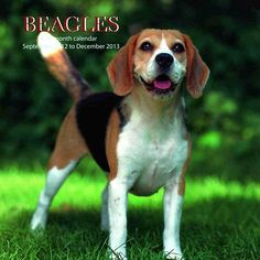 Beagles Wall Calendar: This 2013 wall calendar features a dozen images of beautiful Beagles. The perfect gift for anyone who loves these wonderful dogs!  http://www.calendars.com/Beagles/Beagles-2013-Wall-Calendar-/prod201300001902/?categoryId=cat10023=cat10023#