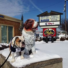 About to chow down on a Cincy staple, @skyline_chili, w/ this St. Bernard. #BigDawgsTour