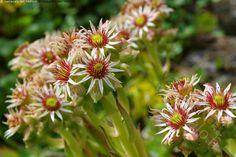 Mehitähden kukat - Mehitähti Sempervivum sukkulentti kivikkokasvi monivuotinen tähtimäinen  kukka kukat kukintovarsi puutarha kesä