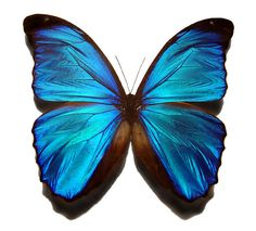 Blue_morpho_butterfly   Flickr - Photo Sharing!