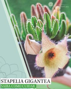 Cacti And Succulents, Planting Succulents, Planting Flowers, Succulent Gardening, Succulent Terrarium, Rare Plants, Exotic Plants, Hanging Orchid, Cactus House Plants