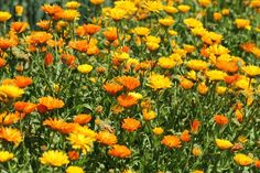 Calendula, commonly called pot marigold, has been popular with gardeners all over the world for such a very long time that its origins are lost in antiquity. Some consider it a European native while others Herb Garden, Vegetable Garden, Garden Plants, Garden Hoe, Veggie Gardens, Flowering Plants, Outdoor Plants, Dream Garden, House Plants