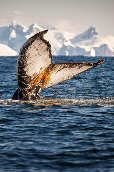 Humpback whale showing its fluke prior to diving deep in Antarctica.