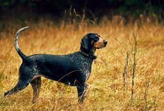 Hunting Dog Names - Best Ideas for Choosing Unique Male and Female Hunting Dogs English Coonhound, Bluetick Coonhound, All Dogs, Dogs And Puppies, Doggies, Hunting Dog Names, Husky, Homeless Dogs, Purebred Dogs