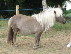 mushroom - Shetland Pony mare Sidonie