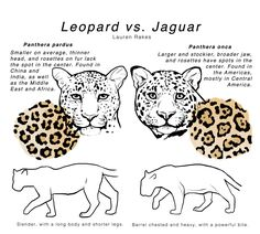 leopard vs. jaguar