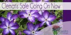 Huge Selection of Quality 2-3 year old clematis