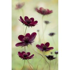 International Garden Photographer of the Year 2011 winners:  Plant Portraits, winner: Cosmos atrosanguineus 'Choca Mocha' by Mandy Disher.