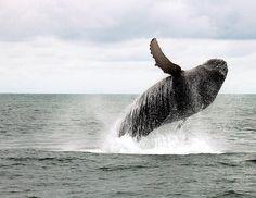 The majestic Humpback Whale!