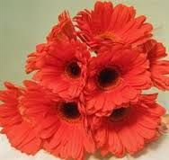 Image result for coral gerbera daisy