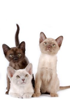 Brown, Lilac & Chocolate Burmese kitties / Definitely, I want a Burmese kitty! #Burmese
