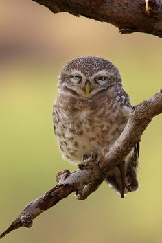 Winking Beauty ...The Spotted Owlet (Athene brama) by Sharad Agrawal, via 500px