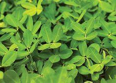 Grama amendoim. Cresce de 10 a 20 cm de altura. Floresce na primavera e verão. Sua folhagem forma um denso colchão verde que dispensa podas periódicas. É usada como pastagem nutritiva. Prefere sol pleno ou meia-sombra. Tolera secas.  (Foto: Acervo Casa e Jardim)