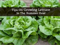 1000 images about gardening lettuces on pinterest growing lettuce how to grow and summer heat - Gardening in summer heat a small survival guide ...