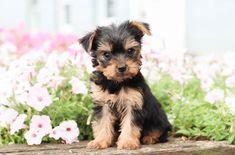 Super fun, playful...😍💜  ...& adorable!! Meet this #Cutie named Frances, a sweet #Yorkie. She is sure to steal your heart in no time with those begging, puppy eyes and her cuteness! ▬▬▬▬▬▬▬▬▬▬▬▬▬▬▬▬▬▬▬ #Charming #PinterestPuppies #PuppiesOfPinterest #Puppy #Puppies #Pups #Pup #Funloving #Sweet #PuppyLove #Cute #Cuddly #Adorable #ForTheLoveOfADog #MansBestFriend #Animals #Dog #Pet #Pets #ChildrenFriendly #PuppyandChildren #ChildandPuppy… Yorkie Puppy For Sale, Puppies For Sale, Puppy Love, Small Dog Breeds, Small Dogs, Puppy Breath, Lancaster Puppies, Yorkshire Terrier Puppies, Animals Dog