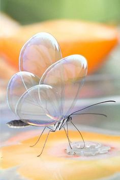 Translucent Butterfly. It looks like its wings are bubbles!