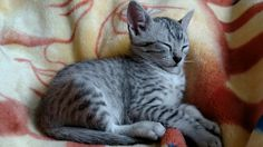 Maura climbed up under the blanket to get on da chair to snuggle. Tuckered her out. #Caturday #kittenwatch #Cassie #cutekitten #egyptianmausoftwitter #egyptianmausofinstagram #egyptianmausoffacebook #catsoftwitter #catsofinstagram #catsoffacebook #catsofscope #cutekitten #petsoriginal #forellen #bestmeow #Excellent_Kittens #Cutepetclub