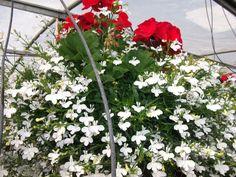 Beautiful flowers to brighten up any home. Hanging Baskets, Lush, Beautiful Flowers, Photo Galleries, Plants, Fall Hanging Baskets, Plant, Planets, Hanging Basket Storage