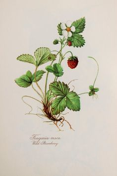 Wild Strawberry - Herb Paris - 1950s Vintage Botanical Print, Flower Print by Elsa Felsko