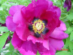 Пион Рока отличается морозпстойкостями и засухами , к тому же он имеет высокая растения , большие и красочные армотые цветы . Растения